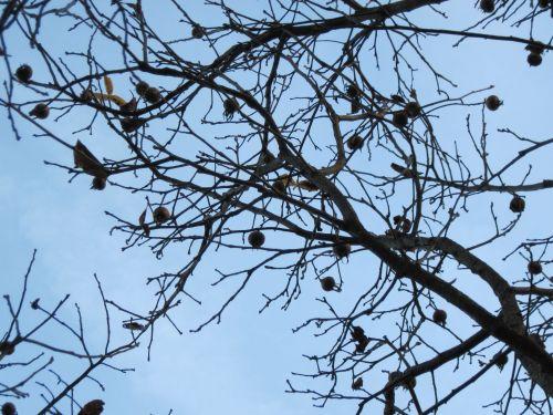 Tenacious medlars against the sky